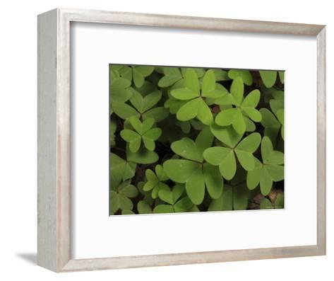 Wood Sorrel Shamrock-George Grall-Framed Art Print