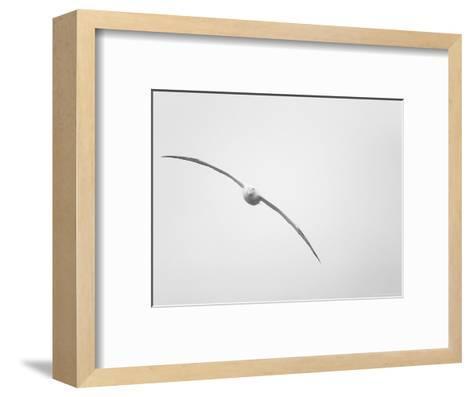 Wandering Albatross in Flight-Ralph Lee Hopkins-Framed Art Print