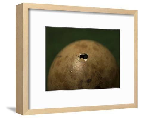 Whooping Crane Egg Hatching at the International Crane Foundation, Baraboo, Wisconsin-Joel Sartore-Framed Art Print
