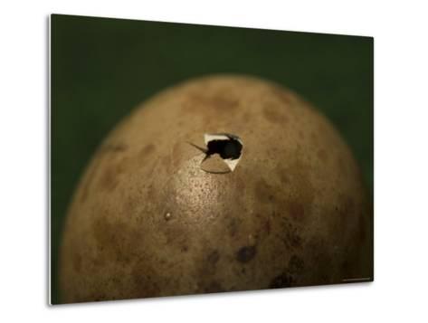 Whooping Crane Egg Hatching at the International Crane Foundation, Baraboo, Wisconsin-Joel Sartore-Metal Print