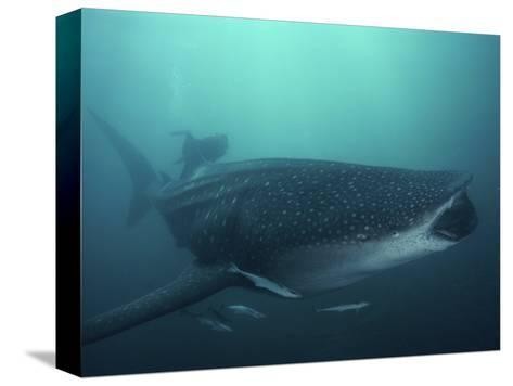 Whale Shark, 35 ft Long and Surrounded by Pilot Fish, Cruises for Krill with Open Mouth, Australia-David Doubilet-Stretched Canvas Print