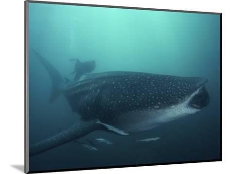 Whale Shark, 35 ft Long and Surrounded by Pilot Fish, Cruises for Krill with Open Mouth, Australia-David Doubilet-Mounted Photographic Print