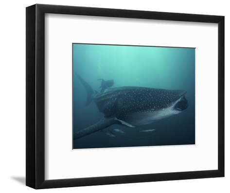 Whale Shark, 35 ft Long and Surrounded by Pilot Fish, Cruises for Krill with Open Mouth, Australia-David Doubilet-Framed Art Print