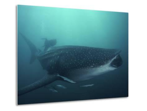 Whale Shark, 35 ft Long and Surrounded by Pilot Fish, Cruises for Krill with Open Mouth, Australia-David Doubilet-Metal Print