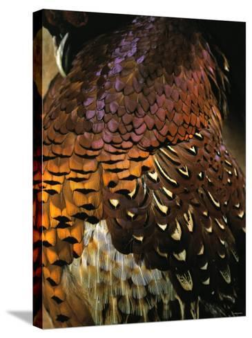 A Pheasant with Colourful Feathers-Nicolas Leser-Stretched Canvas Print