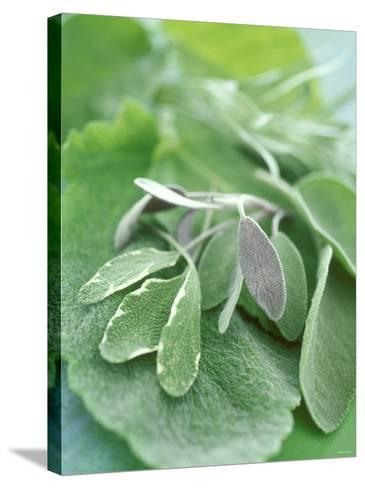 Various Sage Leaves--Stretched Canvas Print