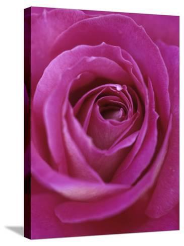 A Hybrid Tea Rose--Stretched Canvas Print