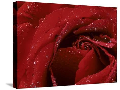 First Red Rose--Stretched Canvas Print