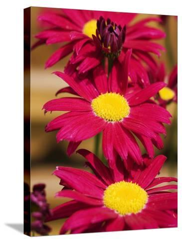 Red Gerbera in the Open Air--Stretched Canvas Print