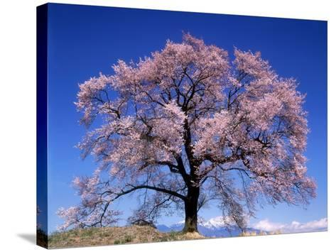 Cherry Blossoms and Mt. Yastu--Stretched Canvas Print