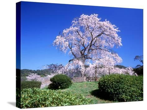 Weeping Cherry Tree--Stretched Canvas Print