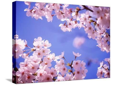 Cherry Blossoms and Blue Sky--Stretched Canvas Print