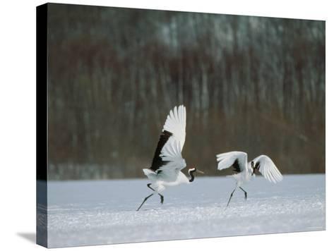 Cranes--Stretched Canvas Print
