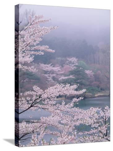 Cherry Blossoms and Pond--Stretched Canvas Print