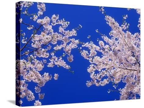 Cherry Blossoms--Stretched Canvas Print