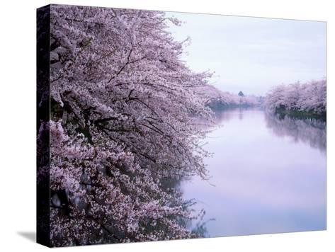 Cherry Blossoms and Moat--Stretched Canvas Print