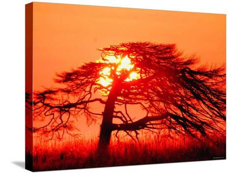 A Pine Tree and Sunrise--Stretched Canvas Print
