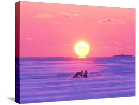 Pair of Fox in Winter Morning--Stretched Canvas Print