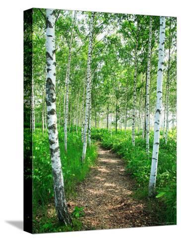 White Birch Lane--Stretched Canvas Print