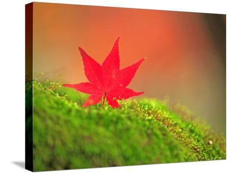 Maple Leaf on Moss--Stretched Canvas Print