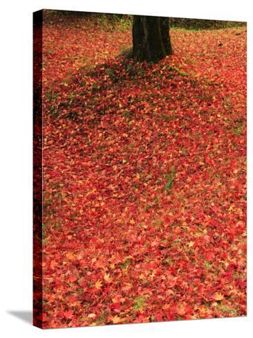 Fallen Maple Leaves--Stretched Canvas Print