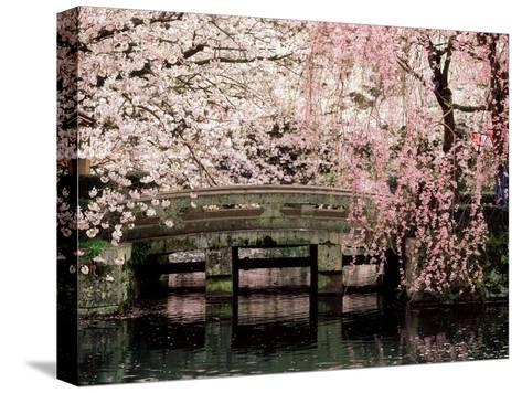Cherry Blossoms, Mishima Taisha Shrine, Shizuoka--Stretched Canvas Print