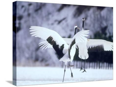 A Pair of Cranes, Hokkaido, Japan--Stretched Canvas Print