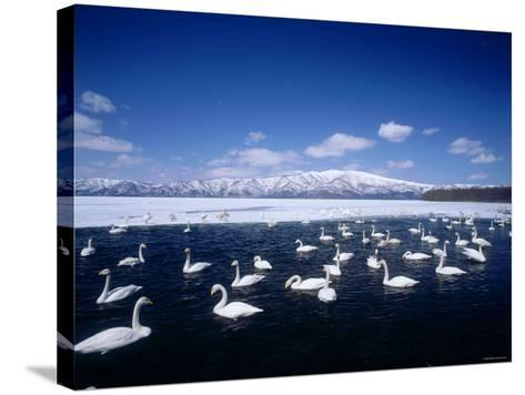 Whooper Swans, Lake Kussharo, Hokkaido, Japan--Stretched Canvas Print