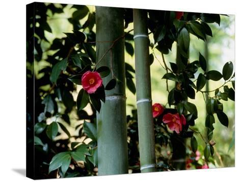 Camellia and Bamboo--Stretched Canvas Print