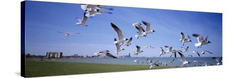 Flock of Seagulls Flying on the Beach, New York, USA--Stretched Canvas Print