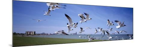 Flock of Seagulls Flying on the Beach, New York, USA--Mounted Photographic Print