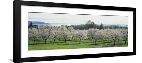 Cherry Trees in an Orchard, Mission Peninsula, Traverse City, Michigan, USA--Framed Art Print