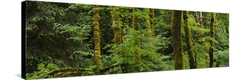 Trees in a Forest, Olympic National Park, Washington, USA--Stretched Canvas Print