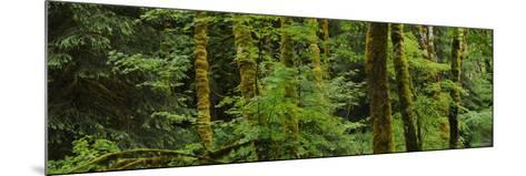 Trees in a Forest, Olympic National Park, Washington, USA--Mounted Photographic Print