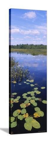 Lily Pads in a Marsh, Adirondack State Park, Adirondack Mountains, New York, USA--Stretched Canvas Print