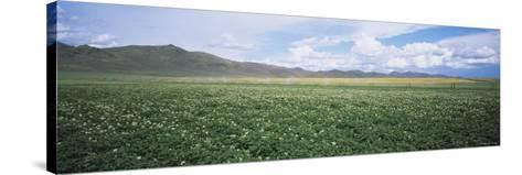Field of Potato Crops, Idaho, USA--Stretched Canvas Print