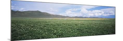 Field of Potato Crops, Idaho, USA--Mounted Photographic Print