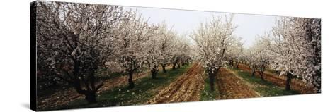 Almond Trees in an Orchard, Syria--Stretched Canvas Print
