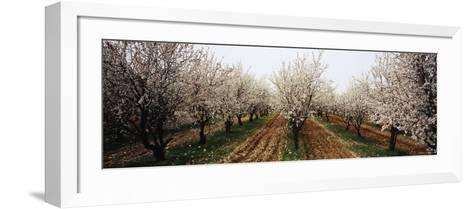 Almond Trees in an Orchard, Syria--Framed Art Print
