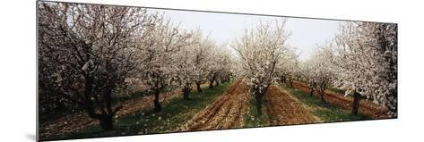 Almond Trees in an Orchard, Syria--Mounted Photographic Print