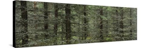 Trees in a Forest, Spruce Forest, Joutseno, Finland--Stretched Canvas Print