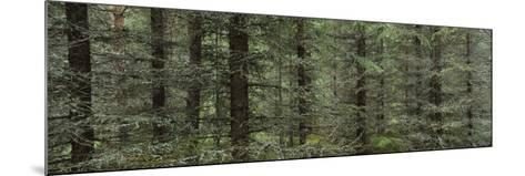 Trees in a Forest, Spruce Forest, Joutseno, Finland--Mounted Photographic Print