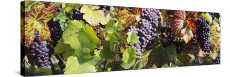Close-Up of Red Grapes in a Vineyard, Finger Lake Region, New York, USA--Stretched Canvas Print