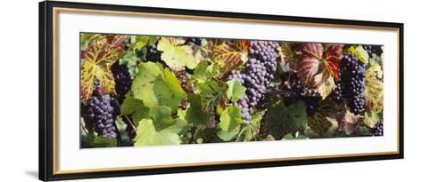 Close-Up of Red Grapes in a Vineyard, Finger Lake Region, New York, USA--Framed Art Print