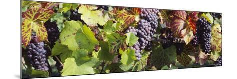Close-Up of Red Grapes in a Vineyard, Finger Lake Region, New York, USA--Mounted Photographic Print