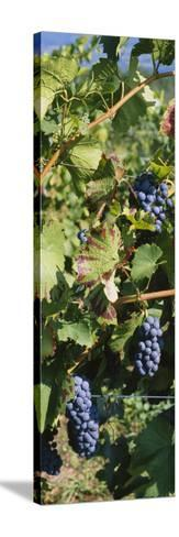 Close-Up of Red Grapes in a Vineyard, Finger Lake, New York, USA--Stretched Canvas Print