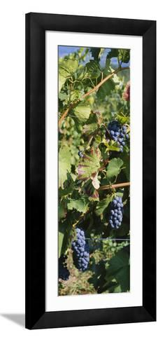 Close-Up of Red Grapes in a Vineyard, Finger Lake, New York, USA--Framed Art Print