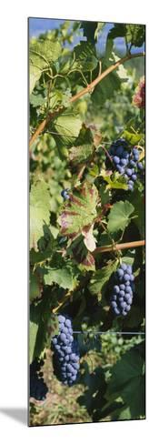 Close-Up of Red Grapes in a Vineyard, Finger Lake, New York, USA--Mounted Photographic Print