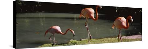 Three Flamingos Foraging by a Pond, Jungle Gardens, Sarasota, Florida, USA--Stretched Canvas Print