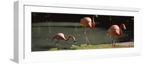 Three Flamingos Foraging by a Pond, Jungle Gardens, Sarasota, Florida, USA--Framed Art Print
